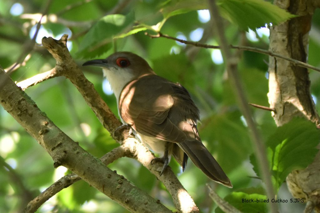 Cuckoos (5)