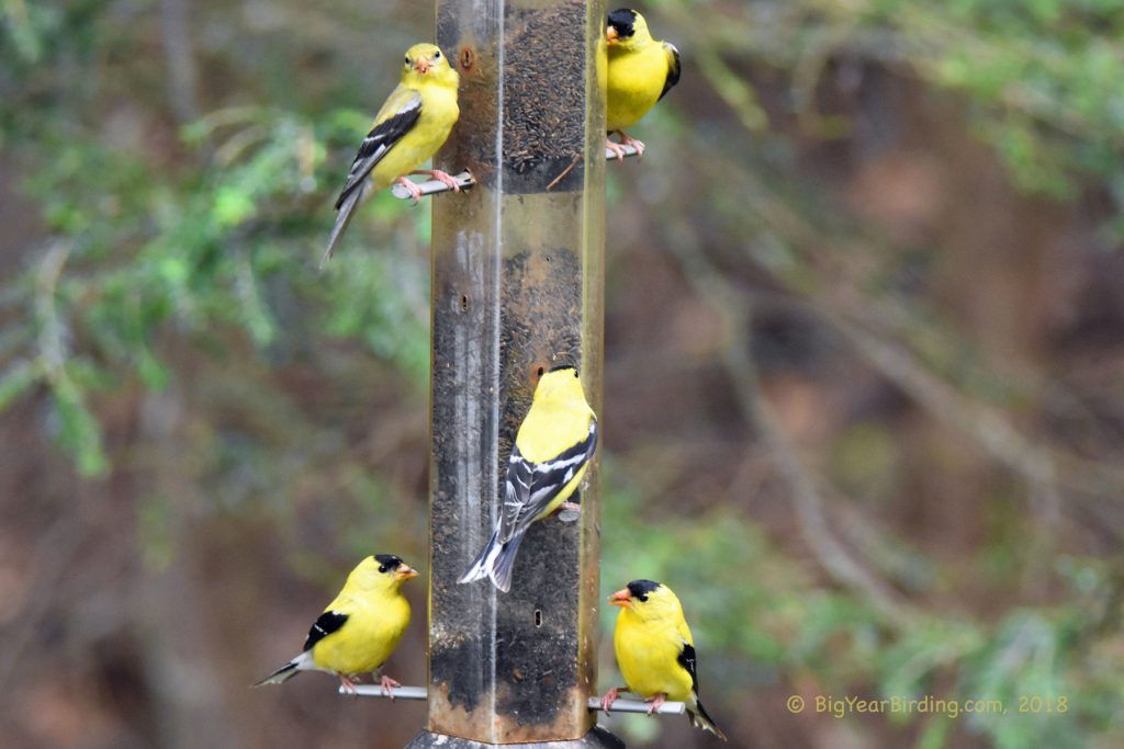 Finches (11)