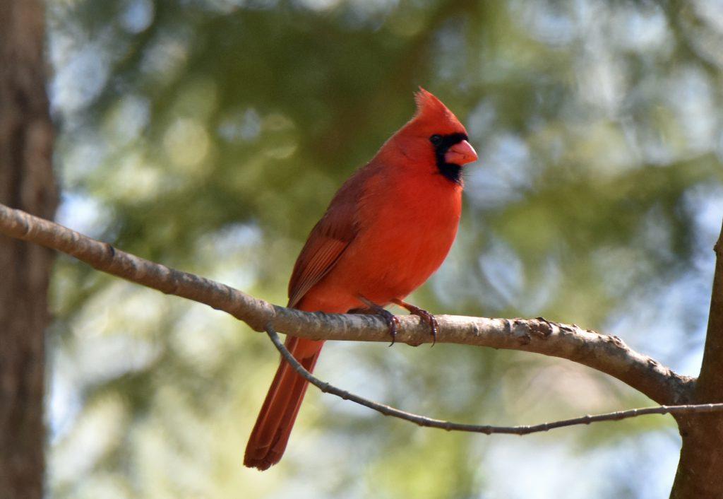 Cardinals and Allies (4)