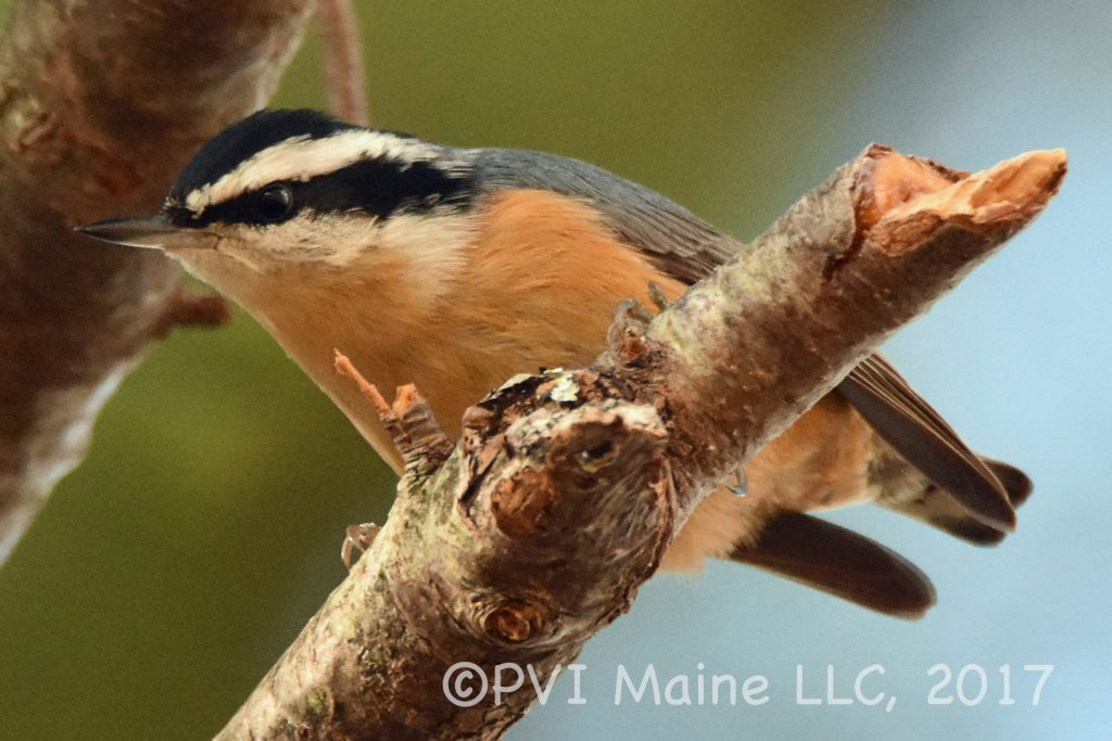 Nuthatches and Creepers (3)