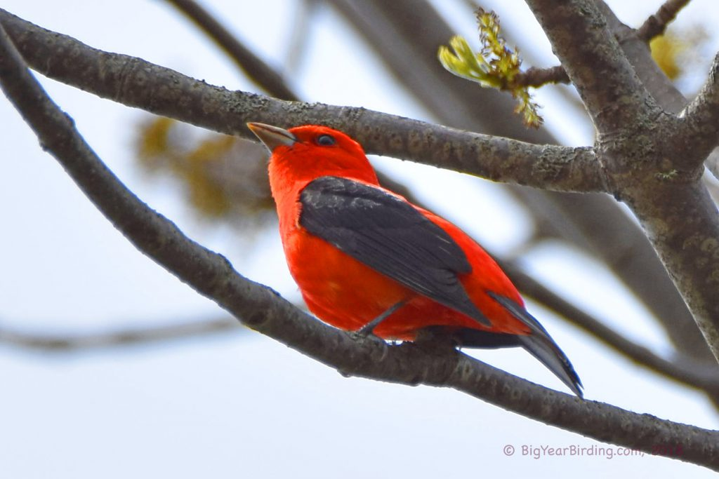 Tanagers (4)