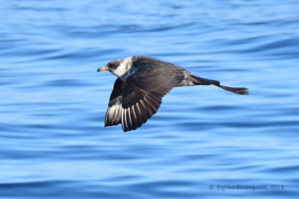 Skuas and Jaegers (3)