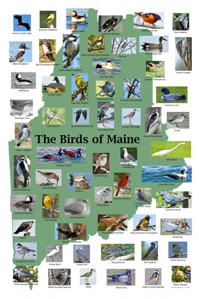 Birds of Maine Poster