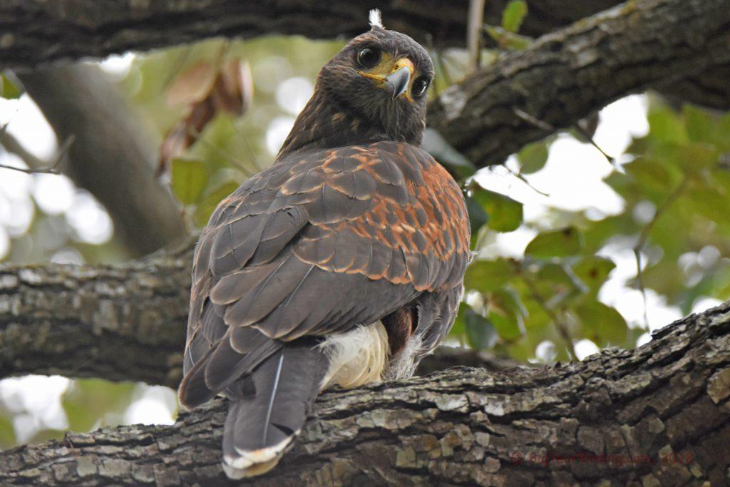 Hawks (14)