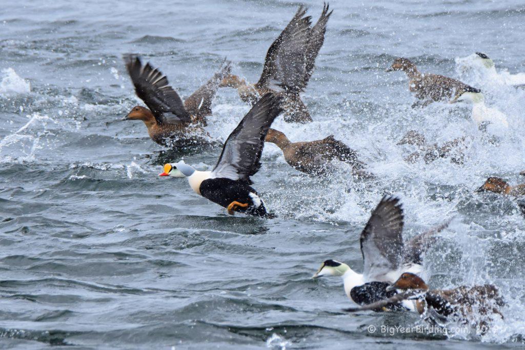 Ducks (35)