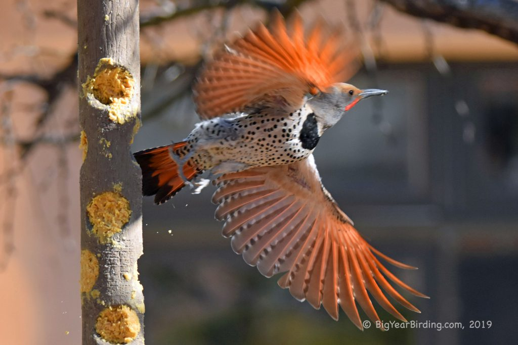 Woodpeckers (16)