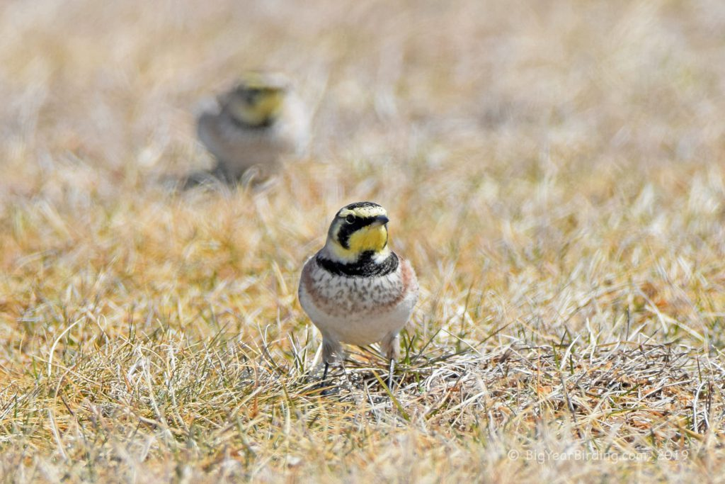 Longspurs and Larks (4)