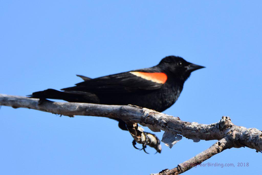 Blackbirds (10)