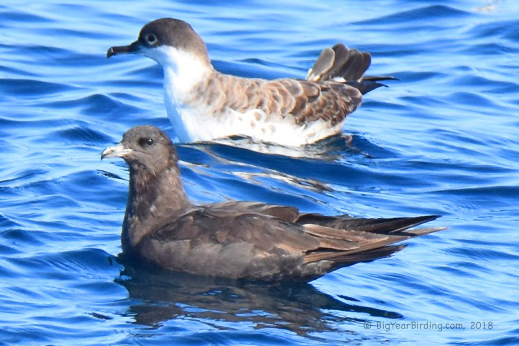 Shearwaters and Storm-Petrels (7)