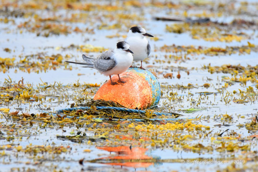 Terns and Skimmers (8)