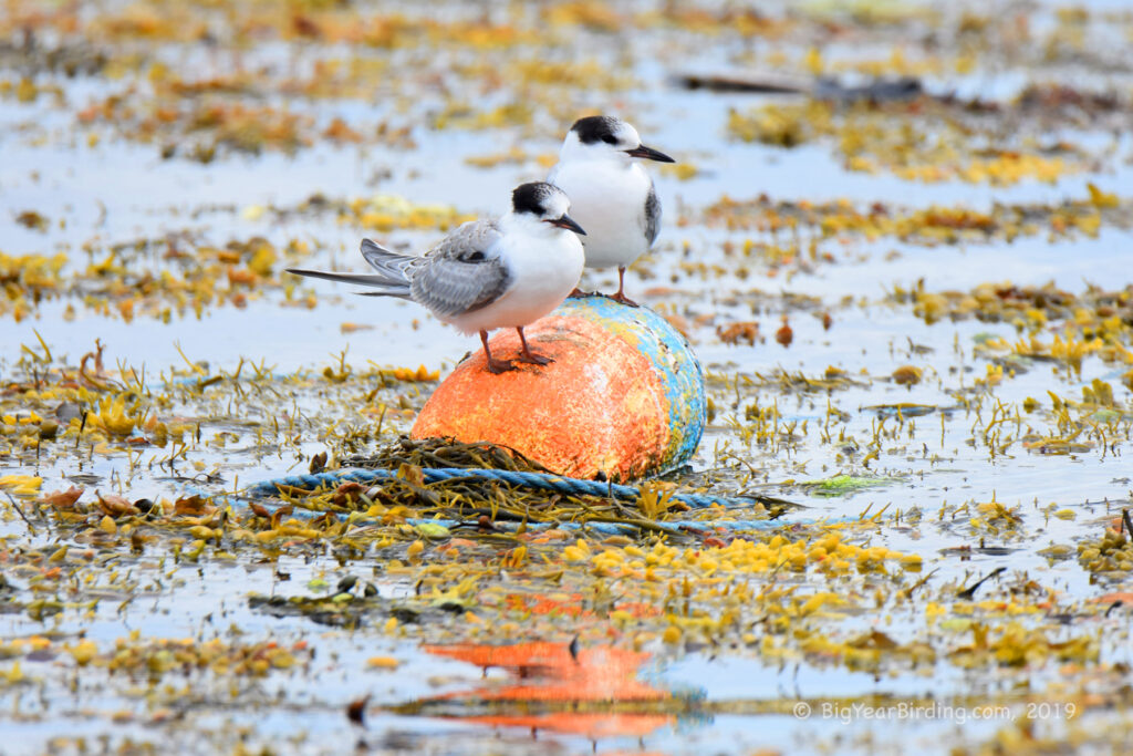 Terns and Skimmer (8)
