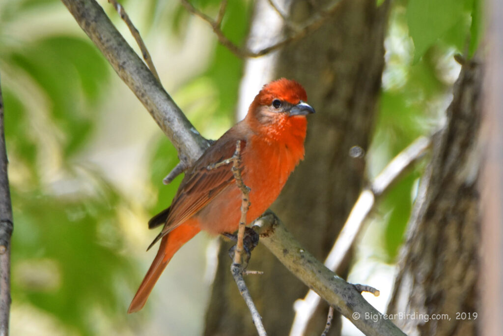 Heptatic Tanager