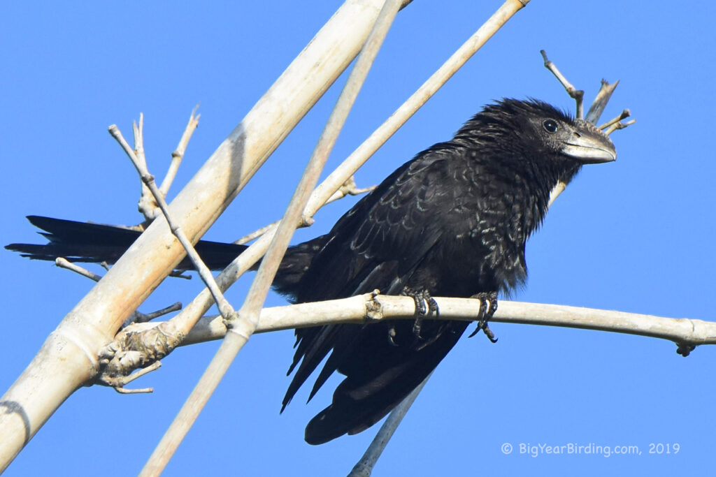 Smoothed-billed Ani