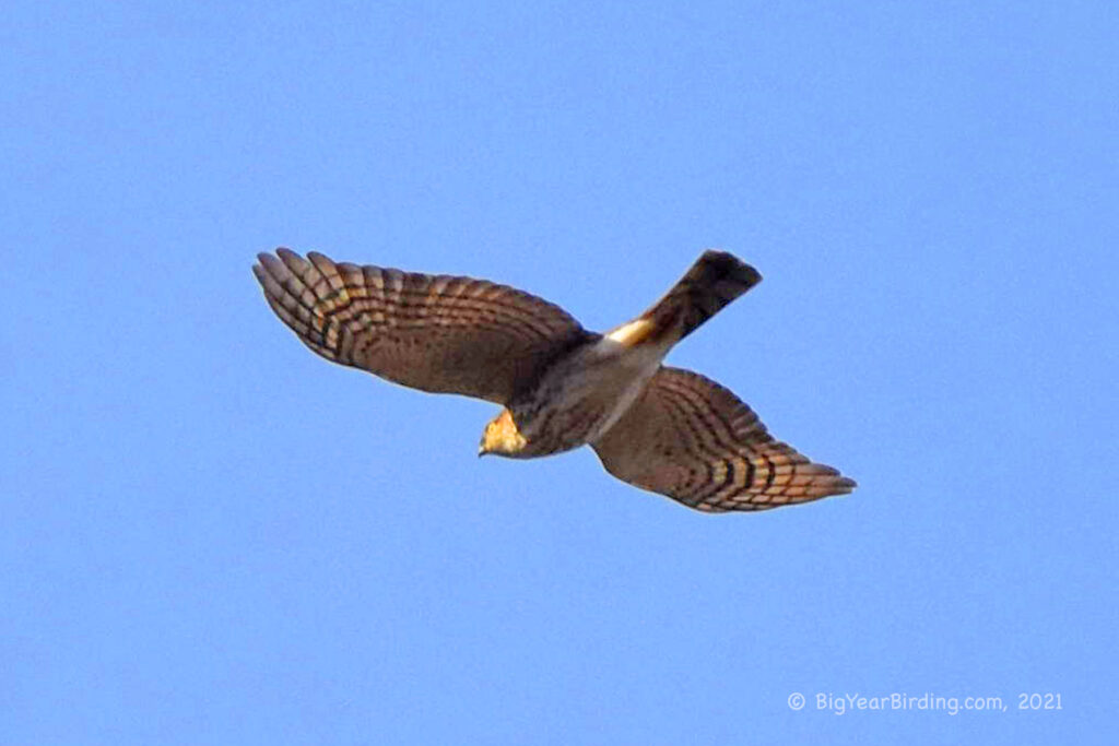Hawks (15)