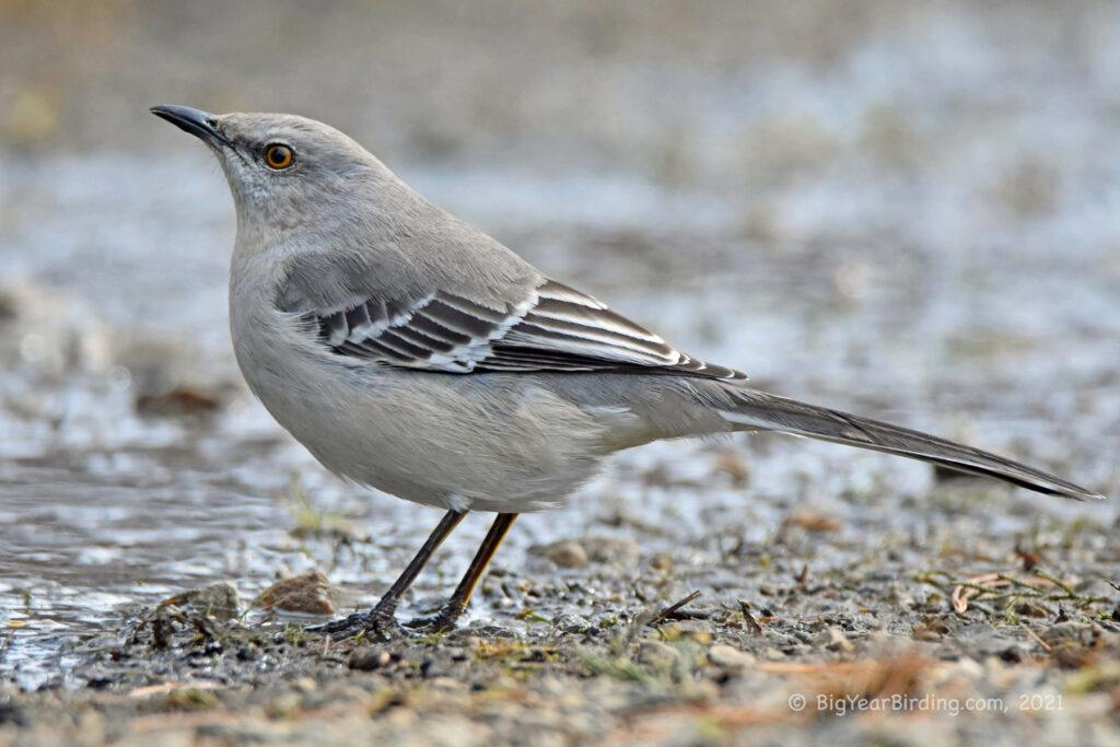 Mimics, Starlings, and Pipits (12)