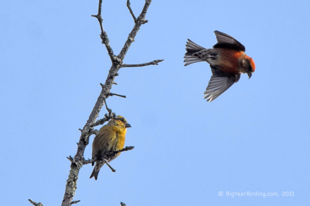 Finches (12)