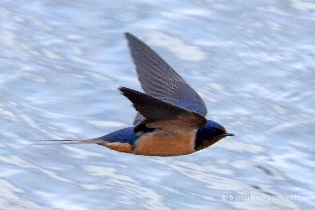 Swallows (6)