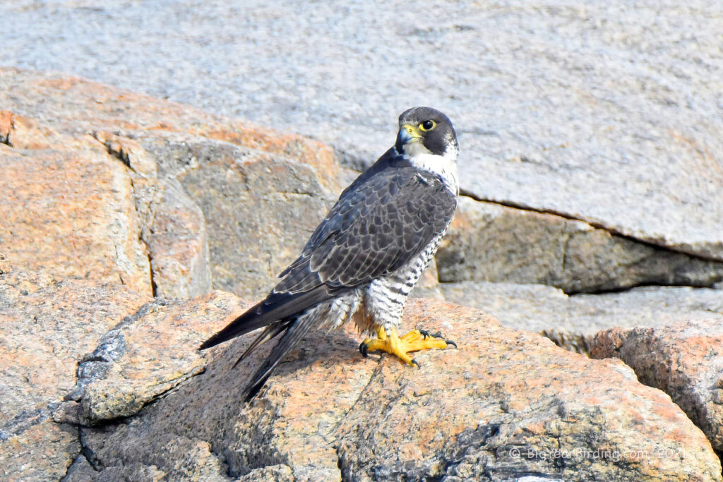 Falcons (3)