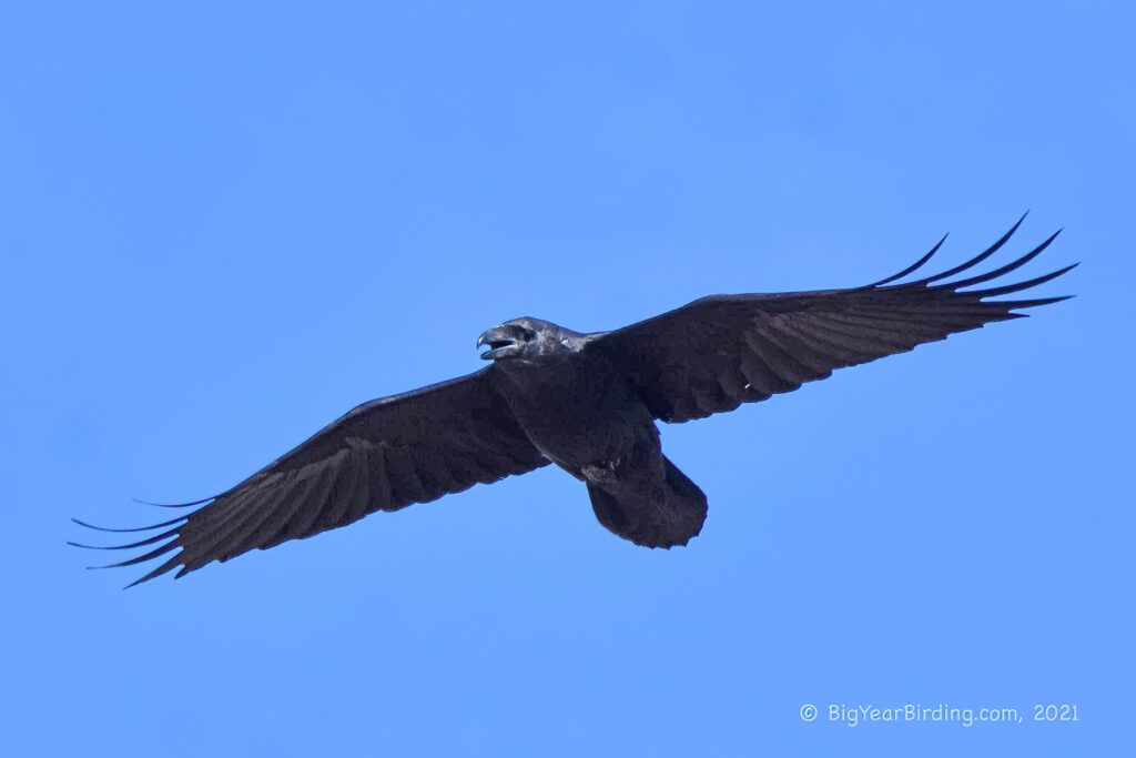 Crows and Ravens (6)